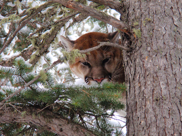 Mountain lion hunting success in Montana